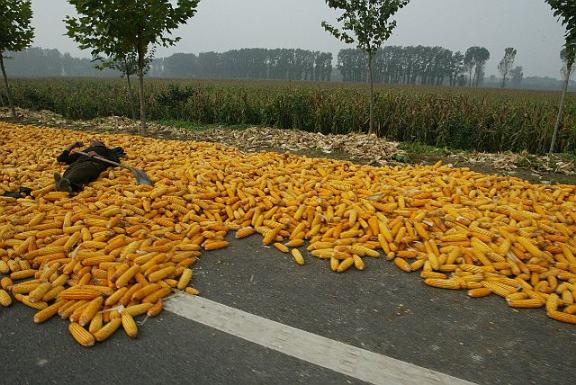Lying on Drying Corn