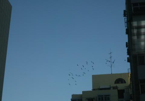 Beijing Domesticated Pigeons