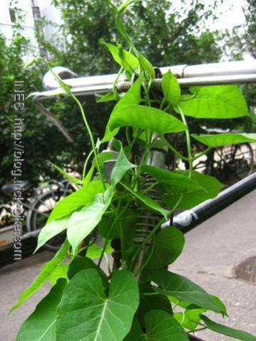 Plants Overgrowing Classic Flying Pigeon Bicycle Handlebar