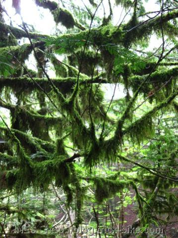 Mossy Tree